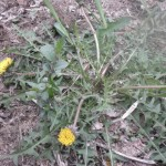 Common Dandelion Weed.  Weed Control Columbia Heights, MN