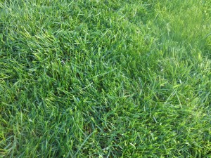 No Weeds!  Lawn treated by Fj Lawn Care. Green, thick, deep rooted, lush lawn.  Weed Control Golden Valley, MN