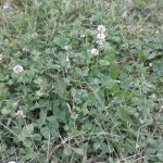 White Clover.  Weed Control Brooklyn Center, MN